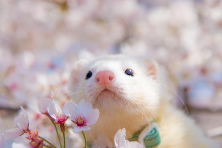 桜とイタチ